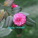 Bloom Green Co. Rose Red Kamelie Samen Topfpflanzen Dachterrasse Garten Blumensamen Topf Bonsai-Baum Gemeinsame Camellia Samen 100PCS: 2