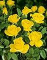 Strauchrose 'Mountbatten' -R- A-Qualität Wurzelware von Rosen-Union auf Du und dein Garten