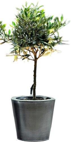 olivenbaumchen-1-pflanze