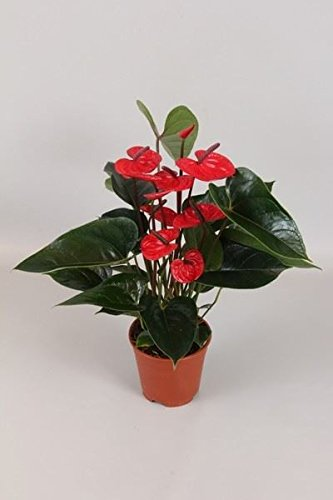 anthurium-diamond-bugatti-veyron-red-house-plant-in-a-14cm-pot