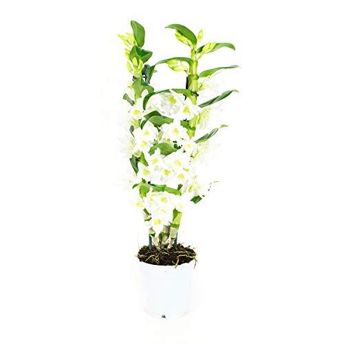 Orquídea de Botanicly - Bambú orquídea blanca - Altura: 60 cm, 2 brotes - Dendrobium Nobilé