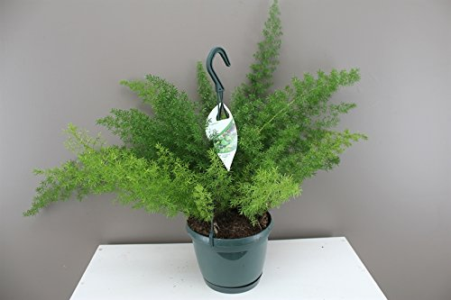 myers-asparagus-fern-foxtail-fern-evergreen-and-easy-care-plant-great-for-growing-in-planters-and-ba