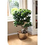Chinesische Seltene Chinesische Feige Baumsamen 100pcs China Roots Sementes Bonsai Ginseng Banyan Garden Baum Outdoor Pflanzer