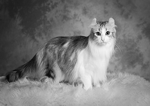 American Curl 3-Amazing poster con gatto-migliore qualità-New poster-Best Picture-miglior prezzo-Formato A4 - Poster Curl