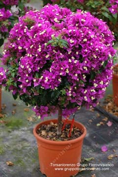 agrobits 20 pc/semi bouganville bag, bougainvillea spectabilis willd semi, bella semi di fiori di piante bonsai pentola per il giardino di casa: 9
