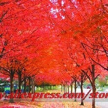 Shopvise 100% True Japanese Red Maple Seed s, Professional Pack,50 Pcs/Pack, Ornamental Garden Seed -