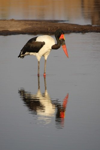 Saddle Billed Stork in Zimbabwe, Africa Journal: Take Notes, Write Down Memories in this 150 Page Lined Journal (Stork Saddle-billed)