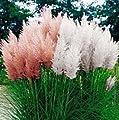 500 PCS Pampas-Gras-Samen Cortaderia Schöne DIY Hausgarten Pflanze Leicht Hohe Germination (Rosa, Gelb, Weiß Lila) wachsen von SVI auf Du und dein Garten