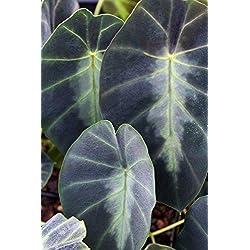 Shopmeeko Heirloom Alocasia Macrorrhiza Green Giant Taro Zimmerpflanzen Elefantenohr Taro Bonsai Gemüse Seltene Calla Bonsai 20 Stück/Pack: Blau