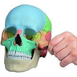 4708 Modelo de cráneo Erler sala osteopatía, 22 piezas, didáctica modelo