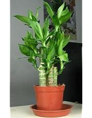 Lotus Indore Plants
