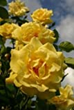 'Golden Gate' -R-, Kletterrose, ADR-Rose im 4 L Container