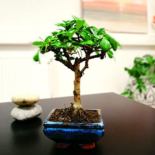 Easy Plants® Fukien Tea Tree Bonsai Forest Group Plants in Ceramic Pot