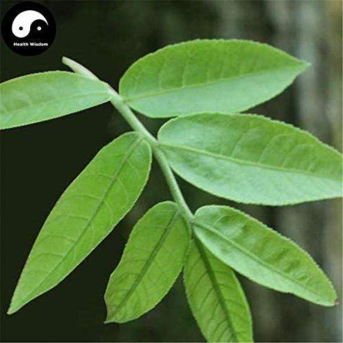 PLAT FIRM KEIM SEEDS: 60pcs: Kaufen Cyclocarya Paliurus Baumsamen Pflanze Kräutertee Hypoglycemic