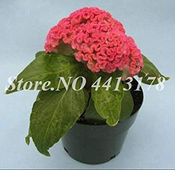 Bonsai 200 PC/Beutel Imported Hahnenkamm Blume Mix Farbe Celosia DIY Hausgarten Stauden Blumen Pflanzen Balkon Dekor Bepflanzung: 14 -