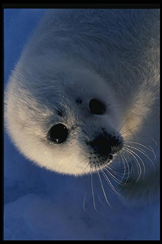 014008 Baby Harp Seal Head A4 Photo Poster Print - Harp Baby Seal