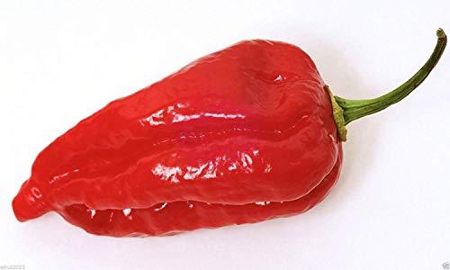 CUSHY Dorset Naga Chili (Capsicum chinense) ng - Superhot Chilli - 10 Samen