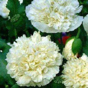 Mohn, Schlafmohn 'White Paeony' 30 Samen - Papaver somniferum (Poppy White Peony) (Somniferum Mohn)