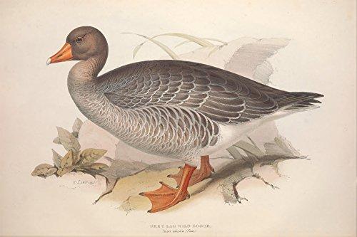 edward-lear-birds-of-europe-1837-grey-lag-goose-artistica-di-stampa-6096-x-9144-cm