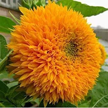 Graine de Sunshine Graines de tournesol DIY Flower Garden usine 20 couleurs disponibles 50 particules / lot