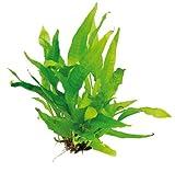 WFW wasserflora Javafarn im TOPF/Microsorum pteropus, barschfest