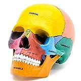 FANg Indossatrice 4D Montaggio di Puzzle Giocattolo del Cranio di Colore Organo Modello anatomico