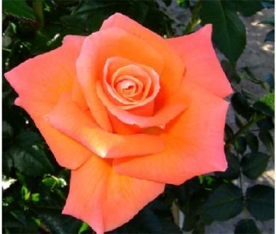 apuldram-roses-mamma-mia-floribunda-bush-rose-potted