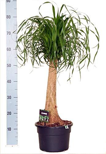 Elefantenfuß, (Beaucarnea recurvata), pflegeleichte Zimmerpflanze (23cm Topf, ca. 65-75cm hoch)