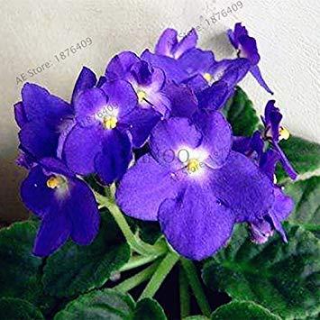 Potseed Genuino al 100% 100 pc rari Semi Colori filodendro, Vite Foglia, pianta perenne Philodendron Albero Seed Light Up Your Garden 2