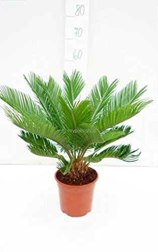 Pflanzenfuchs® Cycas revoluta- Japanische Kogelpalme- Gesamthöhe: 50-60cm Topf: Dia 17cm, 2,5Ltr.