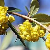 Großblättrige Berberitze - Berberis julianae - Immergrün
