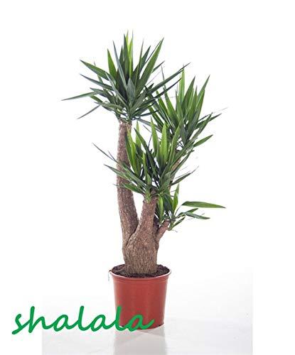 ferry 50 pezzi yucca bonsai piante in vaso al coperto vaso bonsai alta germinazione alto-garde bonsai evergreen anti-radiazioni: 7