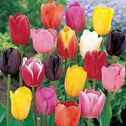 """100 Bulbos de Tulipanes """"Mezcla"""" - Envío incluido"""