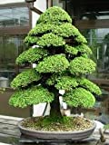 #7: Imported Dwarf Cryptomeria Bonsai Seeds -By Creative Farmer