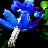 Kostenloser Versand 100Particles/Beutel-Rot Schlumbergera Seed Balkon Bonsai Perennial Blume Schlumbergera Zygocactus Truncatus Seeds 6