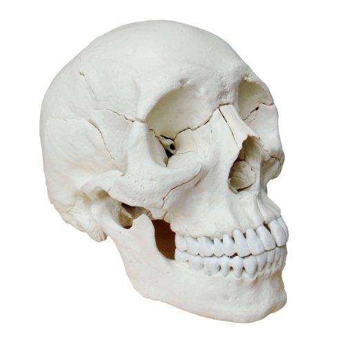 Zoom IMG-3 cranstein e 232 cranio scomponibile