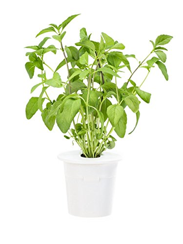 Click & Grow Thai Basil Refill 3-Pack for Smart Herb Garden - Thai Herb