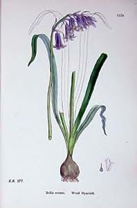 La Botanica Pianta il Fiore di Scilla Nutans del Giacinto Di Legno C1902