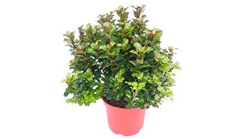 garten bonsai Stechpalme Ilex meserveae Formgehölz Bonsai Kugel Hecke Heckenpflanze Palme