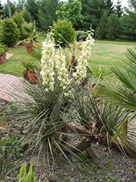 Vistaric Yucca Glauca-Blumensamen von 100 YUCCA (Soapwell/Soapwell / Beargrass/Great Plains Yucca) von Seedville