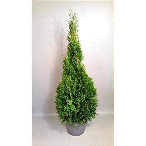 Thuja occidentalis Smaragd 130-140 cm SMARAGD LEBENSBAUM