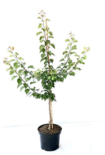Müllers Grüner Garten Shop Aprikosenbaum Bhart Orangenaprikose große Aprikose Buschbaum 150-170 cm 10 Liter Topf St. Julien A