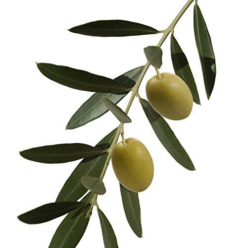 Russische Olive - Elaeagnus angustifolia - Samen