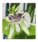 5x Passiflora colinvauxii Samen Strauch Passionsblume Pflanze B46