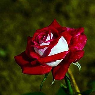 Portal Cool 110pcs White & Red Rose Blumensamen Pflanze Bonsai Asaka Rare Startseite Outdoor Decor