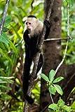 Capuchin Monkey II Von Malvin, Larry Kunstdruck auf Leinwand - Klein (30 x 46 cms )