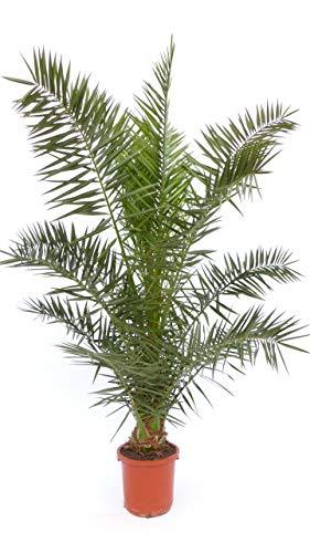 Mega Palme 200-240 cm Phoenix canariensis, kanarische Dattelpalme, winterhart