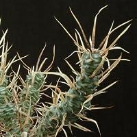 Tephrocactus papyracanthus seeds