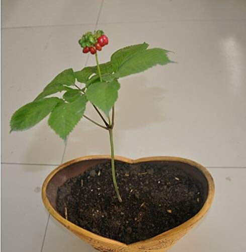 Pinkdose 50 pcs Chinese Hardy Panax Ginseng Korea Ginseng Herbal Grow Your own Ginseng Roots Home Garden