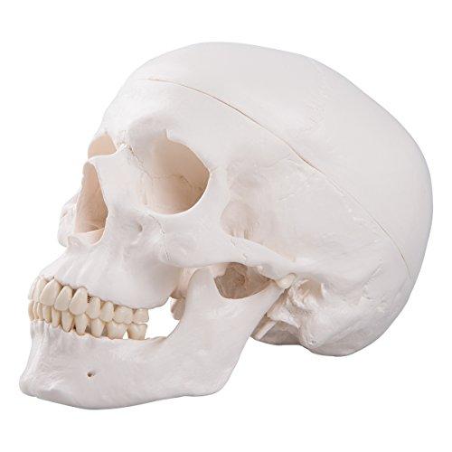Zoom IMG-1 3b scientific a20 cranio modello